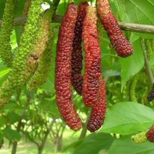Pakistan Mulberry