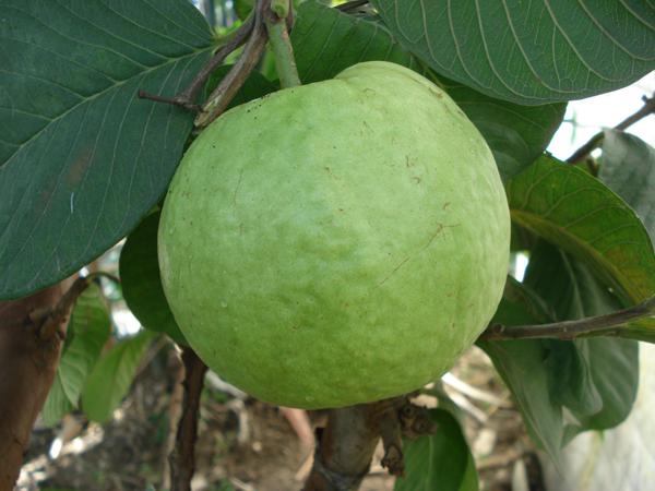 Round Seedless Guava