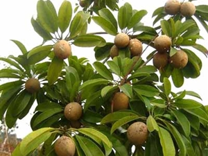 Images Of A Sapodilla Tree